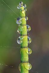 300px-Equisetum_fluviatile_Luc_Viatour