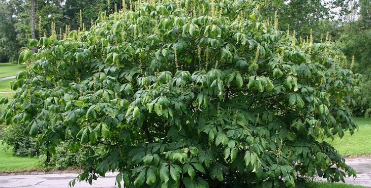 800px-Aesculus-parviflora-habit